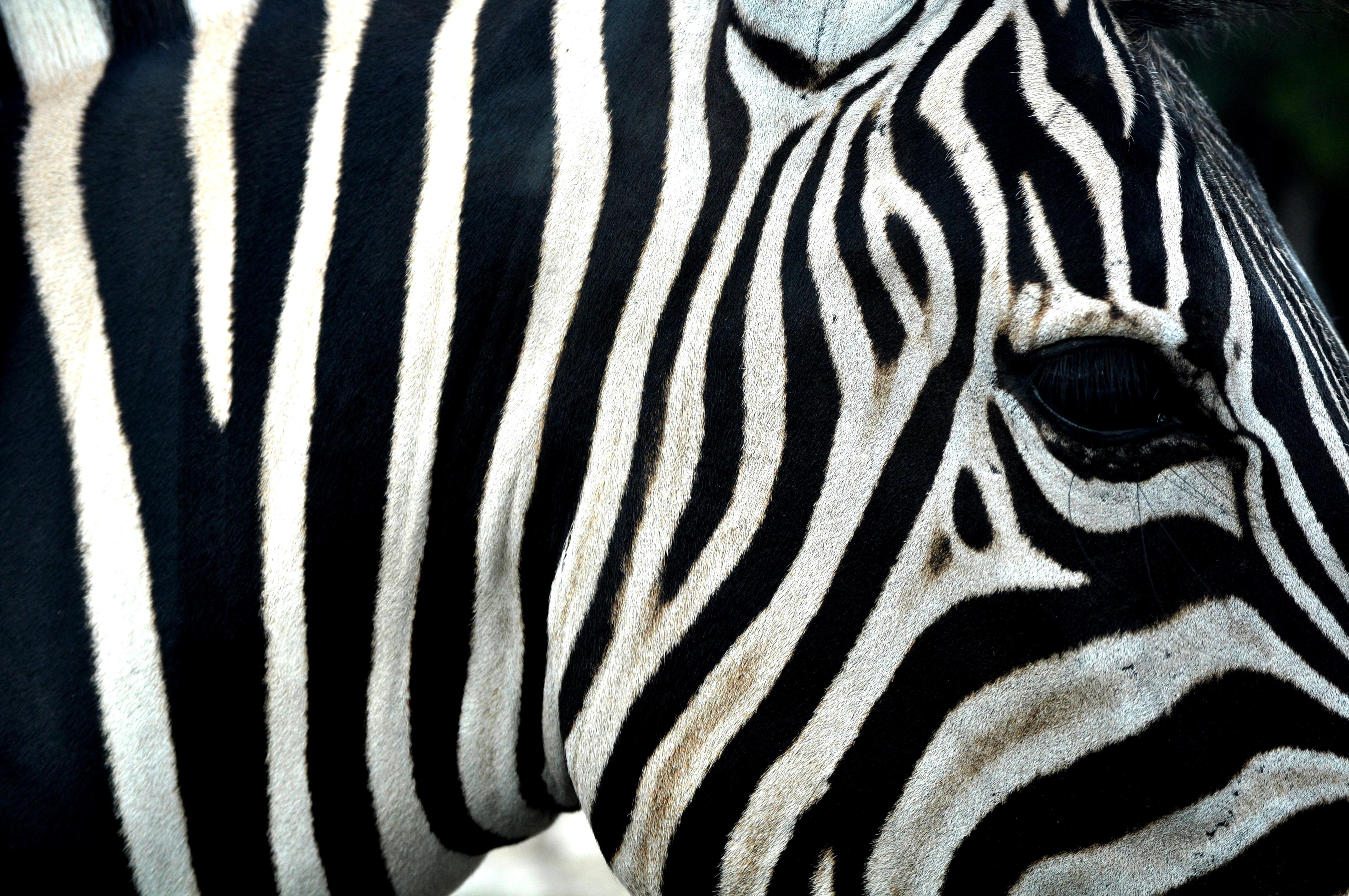 spectacular zebra stripes | Bruce Fong's Blog