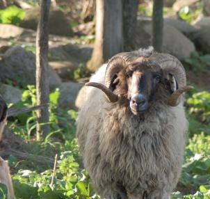 sheep silver ram